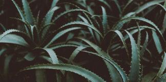 Żel aloesowy - co warto o nim wiedzieć